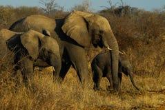 amboseli słoni rodzinny Kenya park narodowy Obrazy Stock