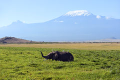Amboseliolifanten Royalty-vrije Stock Afbeelding