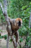 Lemurs Varecia Rubra in the reserve Ranomafana royalty free stock images