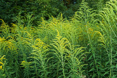 Ambrósia. Plant what causes allergy stock photos