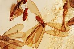 Ambra vicina in su con la zanzara fossilizzata all'interno Immagini Stock