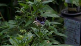 Ambrax Swallowtail und Blau mit einem Band versehene Eggfly-Schmetterlinge im Garten stock video footage