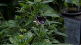 Ambrax Swallowtail und Blau mit einem Band versehene Eggfly-Schmetterlinge im Garten stock footage