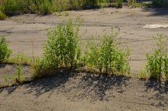 Ambrosia-allergene dell'erba Fotografie Stock Libere da Diritti