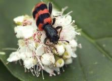 Ambrosia beetle (lat. Trichodes apiarius). Royalty Free Stock Image