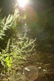 Ambrosia blossoming Stock Photos
