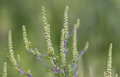 Ambrosia, regweed Foto de Stock