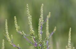 Ambrosia, regweed. Plant responsible for allergies, ragweed, ambrosia Stock Photo