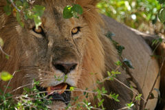 Ambush. Male lion looking out from bush Stock Photos