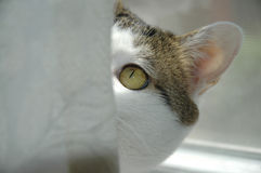 Ambush. A golden-eyed cat eyeing an off camera subject from behind a curtain Royalty Free Stock Images