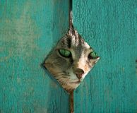 In an ambush. Green-eyed cat peeping between boards Royalty Free Stock Photography
