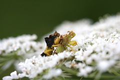 Ambush Bug Stock Photo