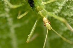 Ambush bug on a green leaf Royalty Free Stock Photo