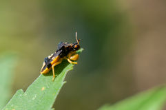 Ambush Bug Stock Photography