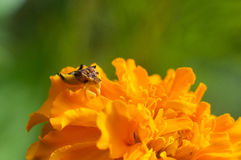 Ambush Bug Royalty Free Stock Images