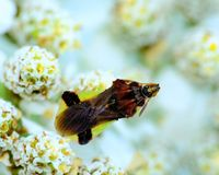 Ambush Bug Royalty Free Stock Photography