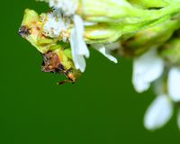 Ambush Bug Royalty Free Stock Photo