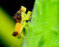 Ambush Bug Royalty Free Stock Photos