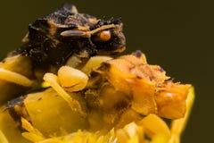 Ambush bugs mate on yellow flower Stock Photo