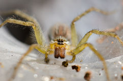 Ambush prey on spider webs trap nests. With hunger and ferocity Stock Image