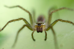 Ambush prey on spider webs trap nests. With hunger and ferocity Stock Photo