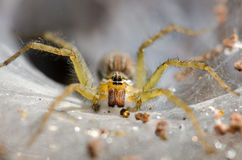 Ambush prey on spider webs trap nests. With hunger and ferocity Stock Photos