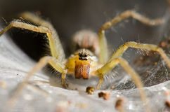 Ambush prey on spider webs trap nests. With hunger and ferocity Royalty Free Stock Photo