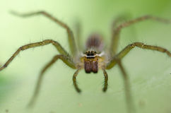 Ambush prey on spider webs trap nests. With hunger and ferocity Royalty Free Stock Photography