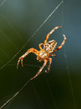 Ambush spider Stock Photography