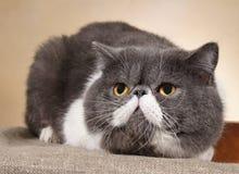 Ambushed cat Royalty Free Stock Photos