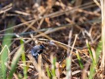 Ambustus de la abeja negra o de Bombylius en hierba Fotos de archivo libres de regalías