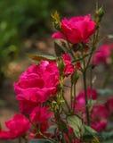 Ame, brillante y rojo, retroiluminados por el sol imagen de archivo libre de regalías