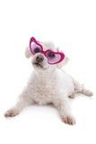 Ame o cachorrinho doente que olha através dos vidros coloridos rosa Fotos de Stock