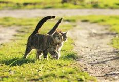 Ame os gatos dos pares que andam no prado verde-claro no spr ensolarado Fotos de Stock