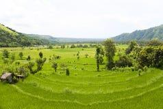 amed bali östlig fältindonesia paddy royaltyfria bilder