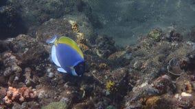 Amed het poeder blauwe zweempje, smaltblauwe geschilderde surgeonfish, surgeonfish binnen, Bali Indonesië royalty-vrije stock foto's