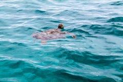 Amedee för havssköldpadda ö, Nya Kaledonien Arkivfoton