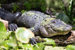 Ameican鳄鱼 库存照片