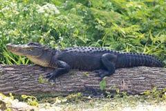 Ameican鳄鱼 库存图片
