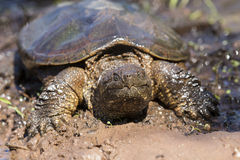 Ameican Alligator snapping turtle crawling in mud Stock Photography