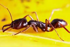 Ameise auf Blatt Lizenzfreie Stockbilder