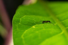 Ameise auf Blatt Lizenzfreies Stockbild