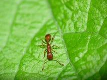 Ameise auf Blatt Stockfotos