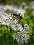 Ameise auf Blume lizenzfreies stockbild