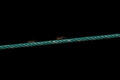 Ameise auf dem Seil Stockfotos