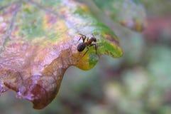 Ameise auf einem Blatt Stockfotografie