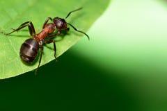 Ameise auf einem Blatt Lizenzfreies Stockfoto
