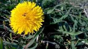 Ameise auf einem gelben Löwenzahn an einem sonnigen Tag Stockfoto