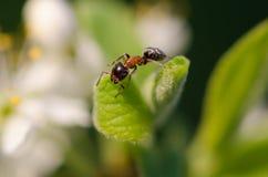 Ameise auf einem grünen Blatt Stockfoto