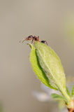 Ameise auf einem grünen Blatt Stockbild